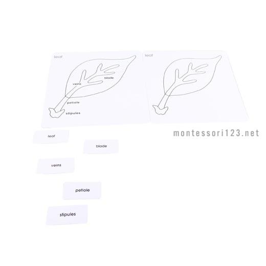 Parts_of_the_Leaf_Card_Set_1.jpg